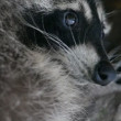 Raccoon — Stock Video