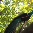 Peacock — Stock Video #25445331