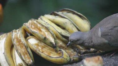 Tropical bird eating banana — Stock Video