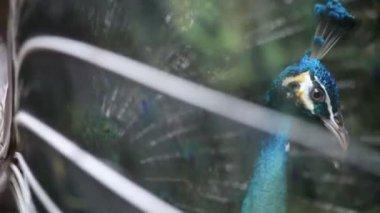 Peacock — Stock Video