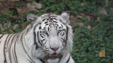Asiatiska vit tiger — Stockvideo