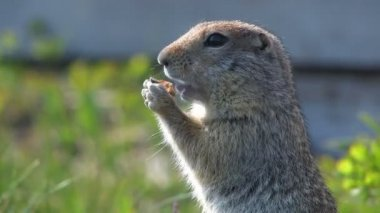 Portrait of a gopher — Stock Video
