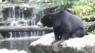 Asian black bear — Stock Video