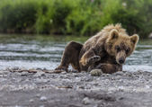 Bear cub — Stock Photo
