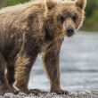 Bear cub - Stock Photo