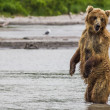 Photo: Brown bear fishes