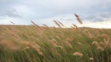 Hierba pluma en el viento — Vídeo de stock