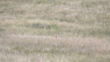 Roe deer in a field of header — Stock Video
