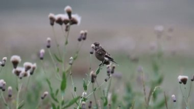 Field pipit — Stockvideo