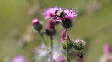 Thistle flower closup — Stockvideo
