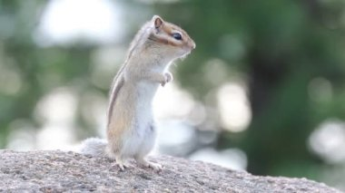 Siberian Chipmunk — Stock Video