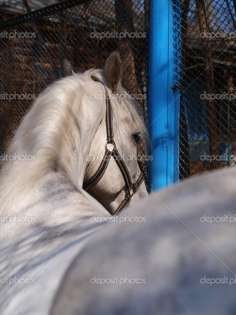Gray horse turns back      Foto Stock #13816692
