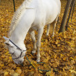 Stock Photo: White horse in autumn forest
