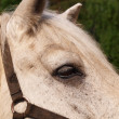 The head  horse close-up — Stock Photo