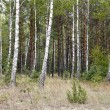 Birch grove — Stock Photo #13590184