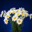 Bouquet of Fresh daisies flowers isolated on dark blue backgroun — Stock Photo