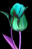 Abstract flower background. Tulips — Stock Photo