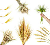Collection of wheat ears — Stock Photo