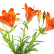 Orange lilly. Summer flowers — Stock Photo