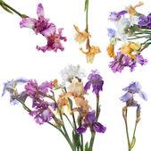 Bouquet of iris flowers — Stock Photo