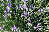 Field of beautiful violet iris with green grass — Foto de Stock