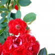 Background of red rose and petals on white — Stock Photo