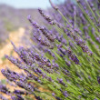 Lavender bush in Provence — Stock Photo