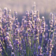 Lavender field in Provence — Stockfoto