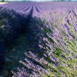 Lavender field in Provence — Stock Photo #12281562
