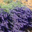 Harvest the lavender flowers in Provence — Stock Photo
