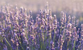 Lavender field in Provence — Stock Photo