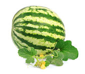 Young blossoming water-melon — Stock Photo