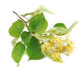 Branch of linden flowers — Stock Photo