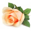 Beautiful orange rose — Stock Photo #14263277