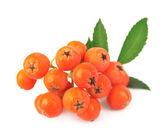 群的莓果红荣 — 图库照片
