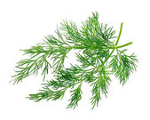 Fennel herbs — Stock Photo