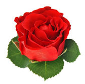 Einzelne Blüte rot — Stockfoto