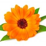 Single marigold flower — Stock Photo #19400149