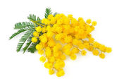 Twig of mimosa flowers — Stock Photo