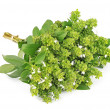 Blossoming basil — Stock Photo #22468017