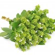Stockfoto: Blossoming basil