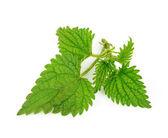 Nettle herbs — Stock Photo