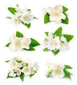 Set of  jasmine — Stock Photo