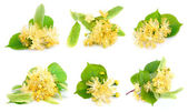 Set of linden flowers — Stock Photo