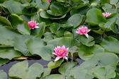 Background - lotuses — Stock Photo