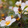 Stock Photo: Brier flowers against blur background