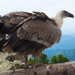Griffon vulture in wildness — Stock Photo #13645404