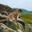 Snow leopard  on rocky - Stock Photo