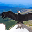 Andean condor  in wildness area — Stock fotografie