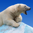 Polar bear — Stock Photo #13645599